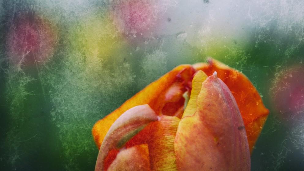 Impressionistic Tulip